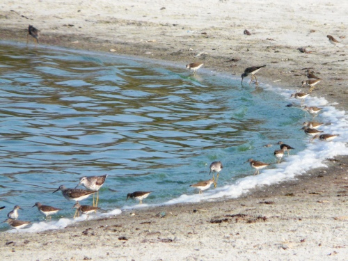 Cedar Island Shorebirds