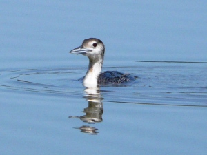 Common Loon - a surprising find at Dauphin Island