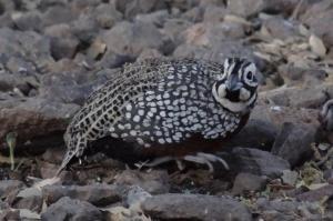 Montezuma Quail.  Photo by Warren Jones.