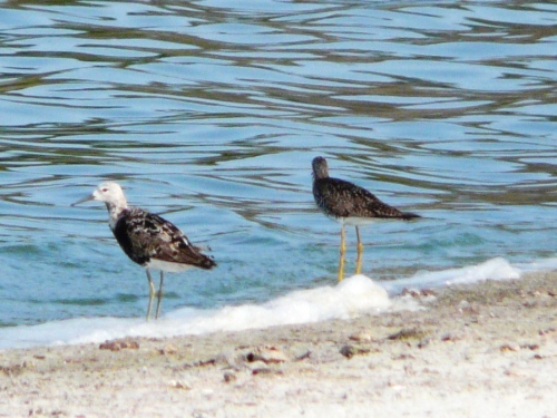 Ruff and Lesser Yellowlegs