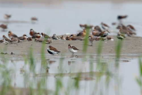 Spoon-billed Sandpiper and other shorebirds
