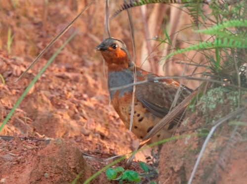 Chinese Bamboo-partridge
