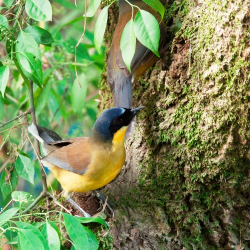 Courtois's Laughingthrush