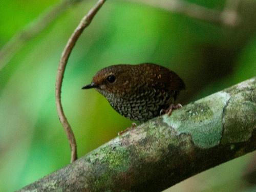 Pygmy Wren-babbler (Pnoepyga pusilla, now called Pygmy Cupwing)