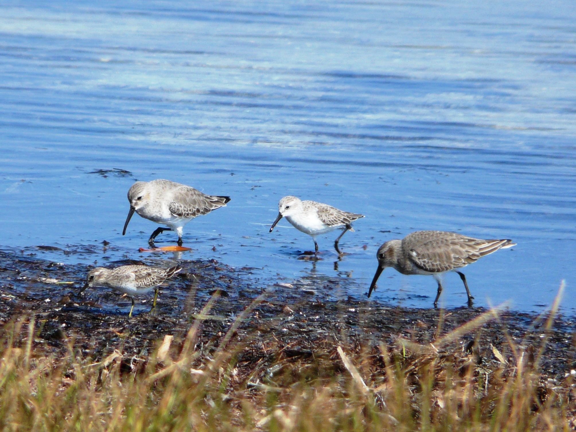 Least Sandpiper, Sanderling,a nd Dunlin at Fort De Soto