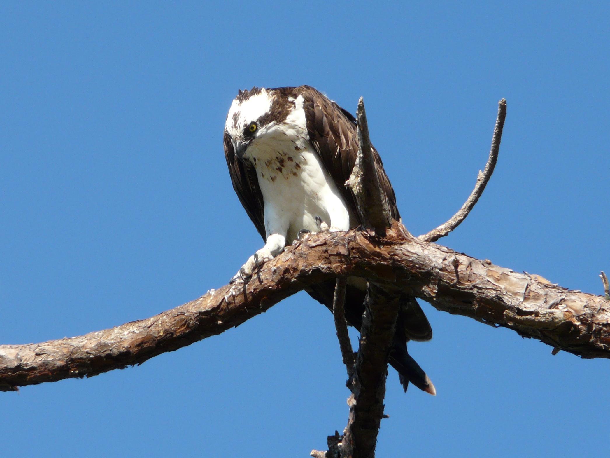 Osprey at Honeymoon Island