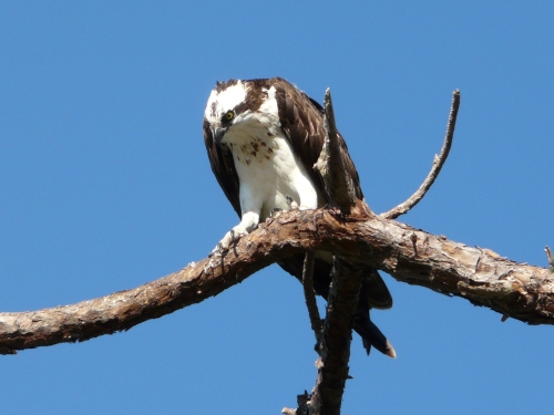 Osprey at Honeymoon Island