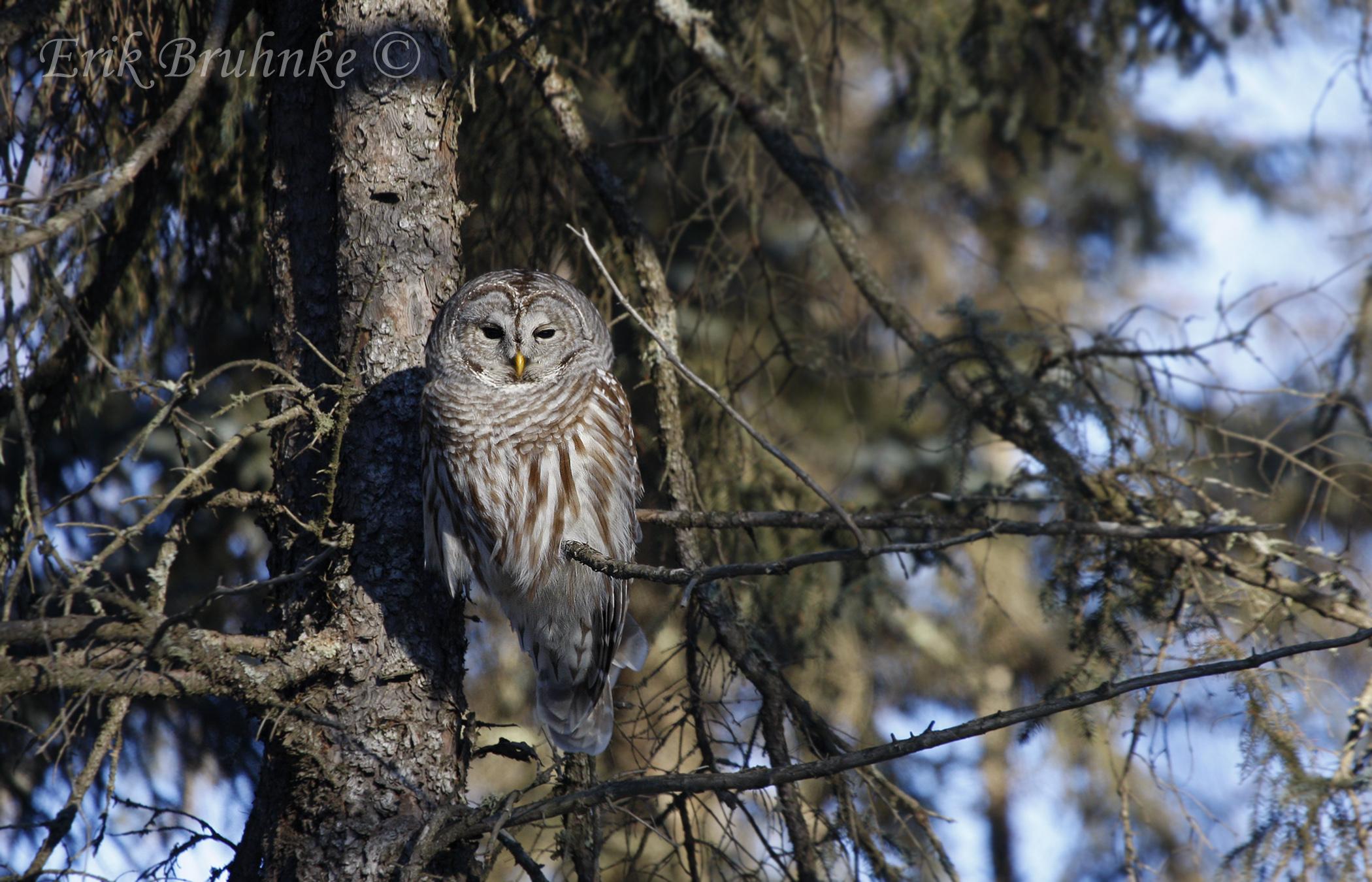 Barred Owl.  Photo by Erik Bruhnke.