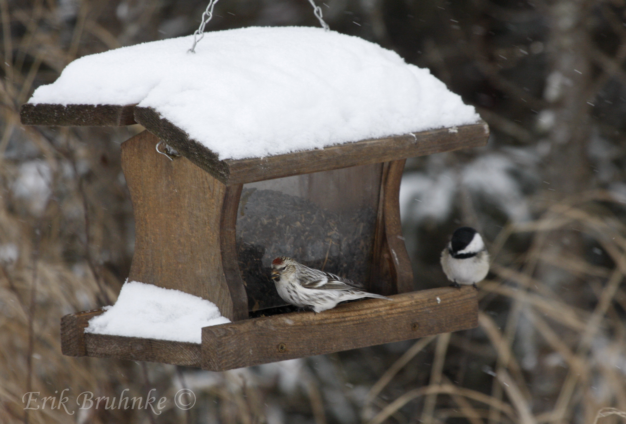 Black-capped Chickadee and Hoary Redpoll