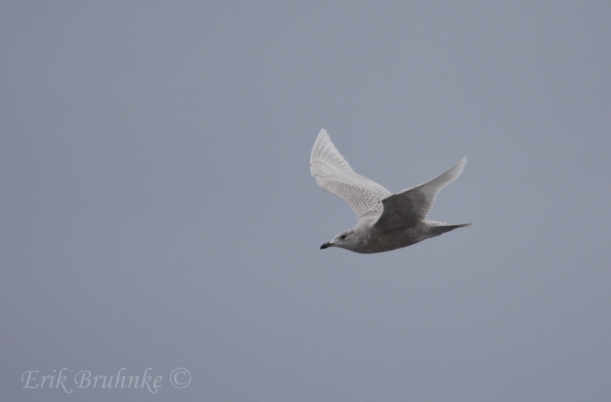 Iceland Gull.  Photo by Erik Bruhnke.