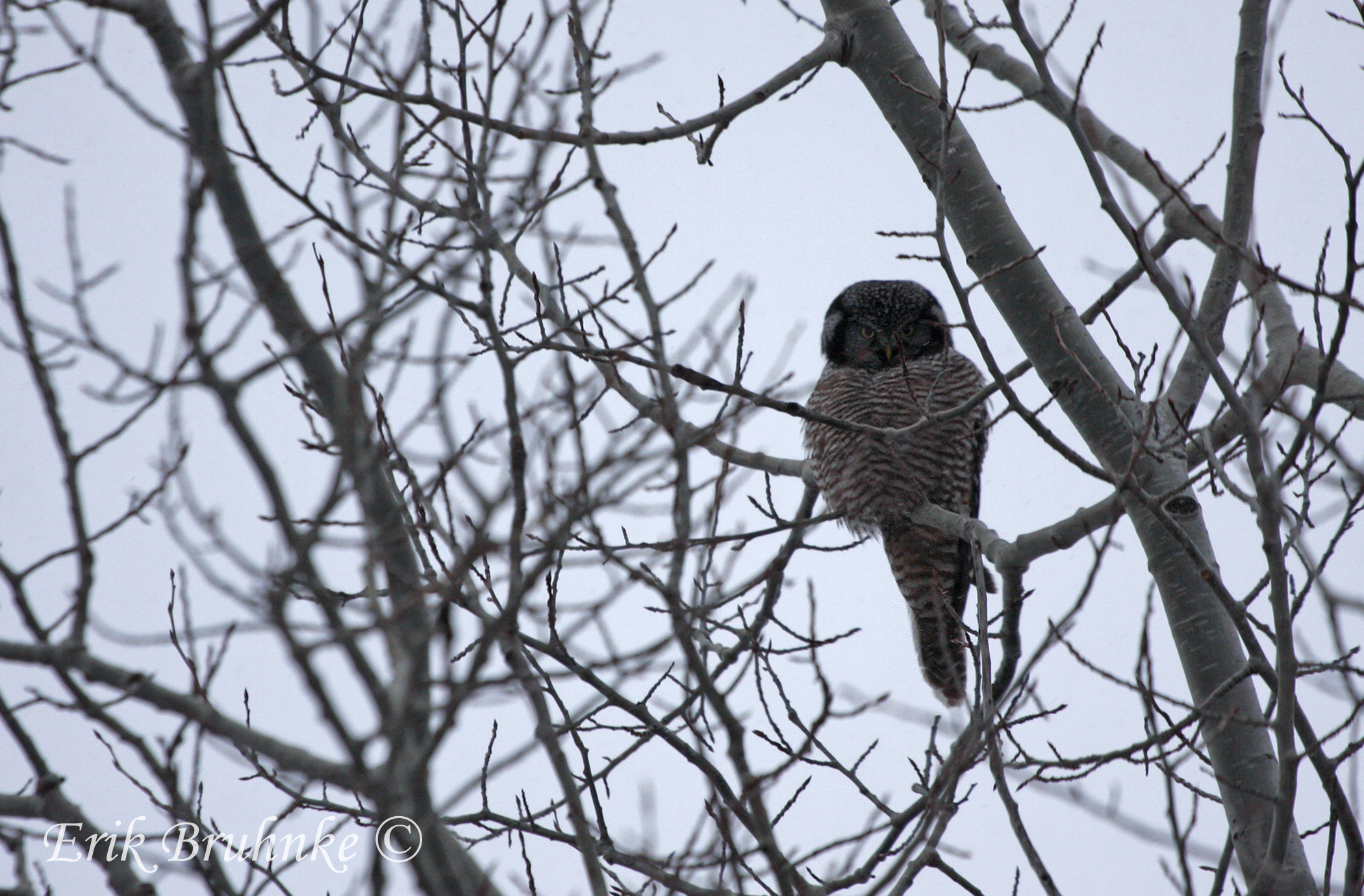 Northern Hawk Owl.  Photo by Erik Bruhnke.