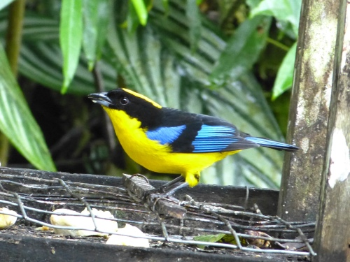 Blue-winged Mountain-Tanager in Ecuador.