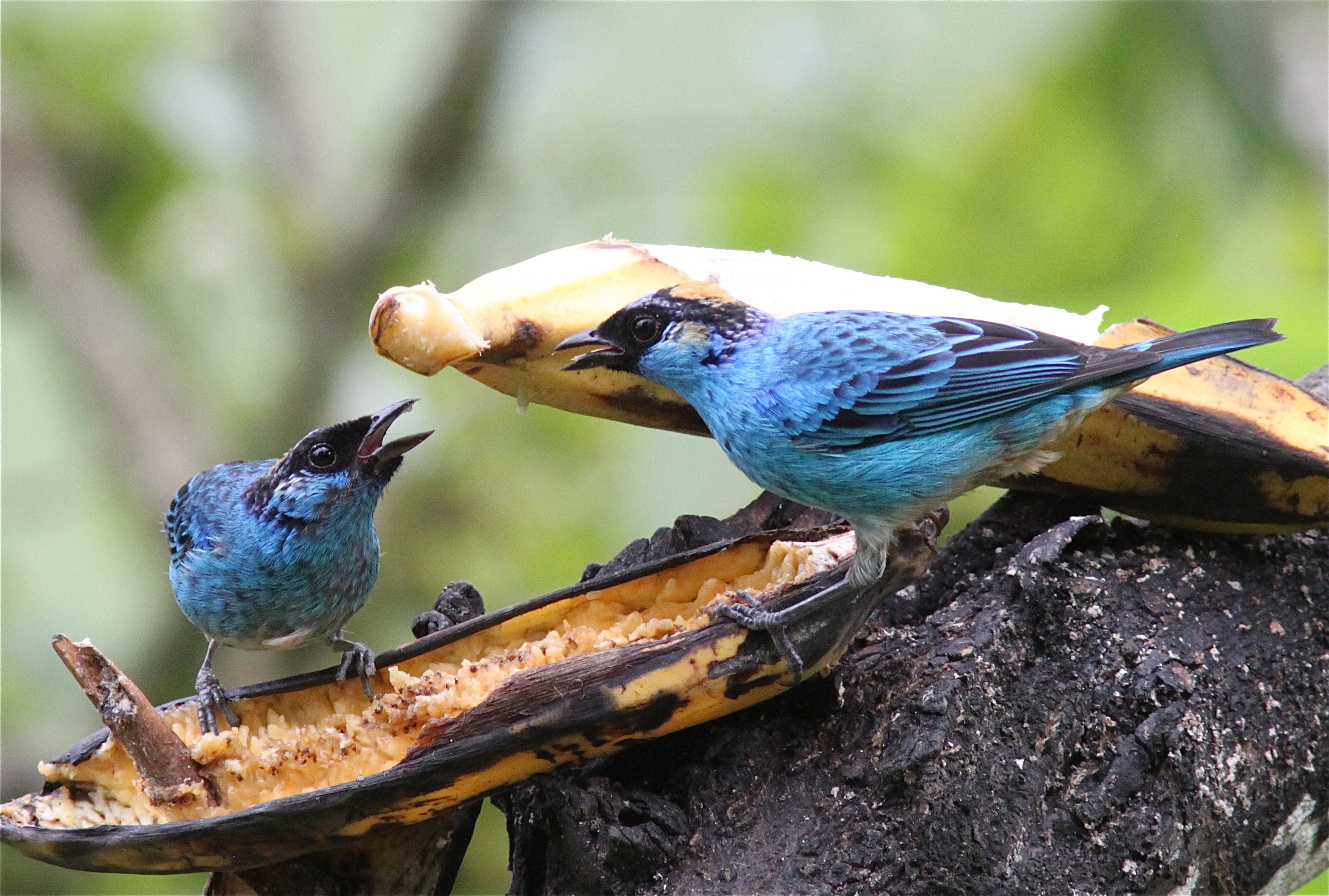 Golden-naped Tanagers
