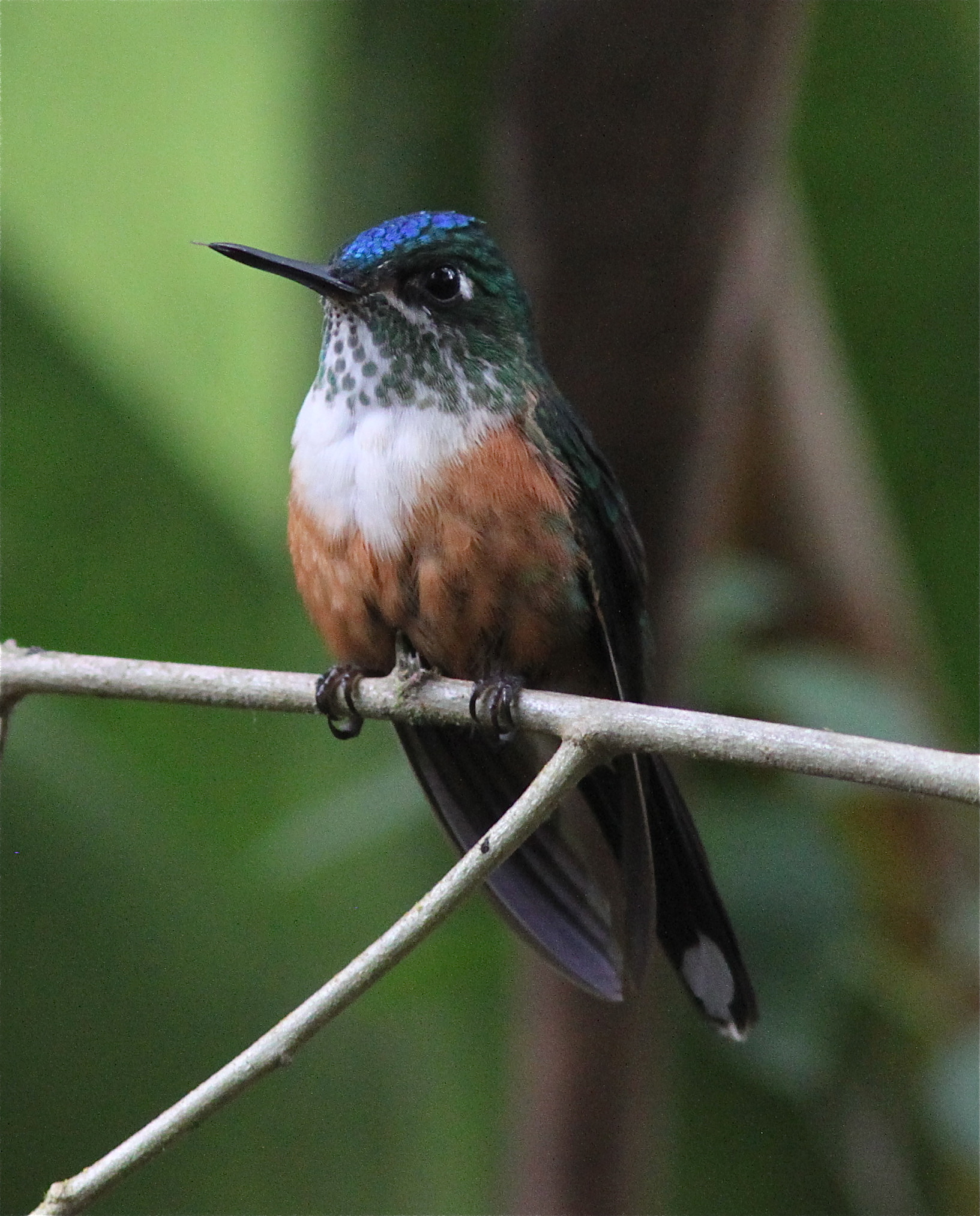 Violet-tailed Sylph (female)