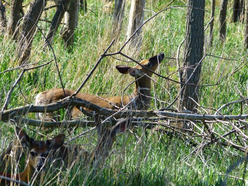 Deer in the woods at Maumee Bay State Park
