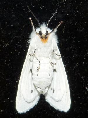 Virginian Tiger Moth, Spilosoma virginica