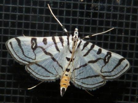 Zebra Conchylodes