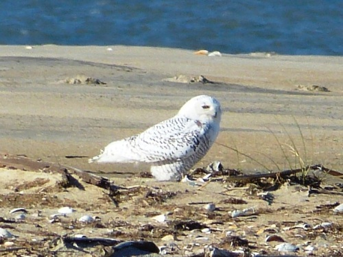 Snowy Owl on the beach at Cape Hatteras