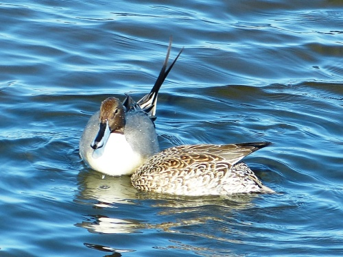 Pintail pair