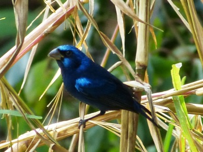 Blue Bunting