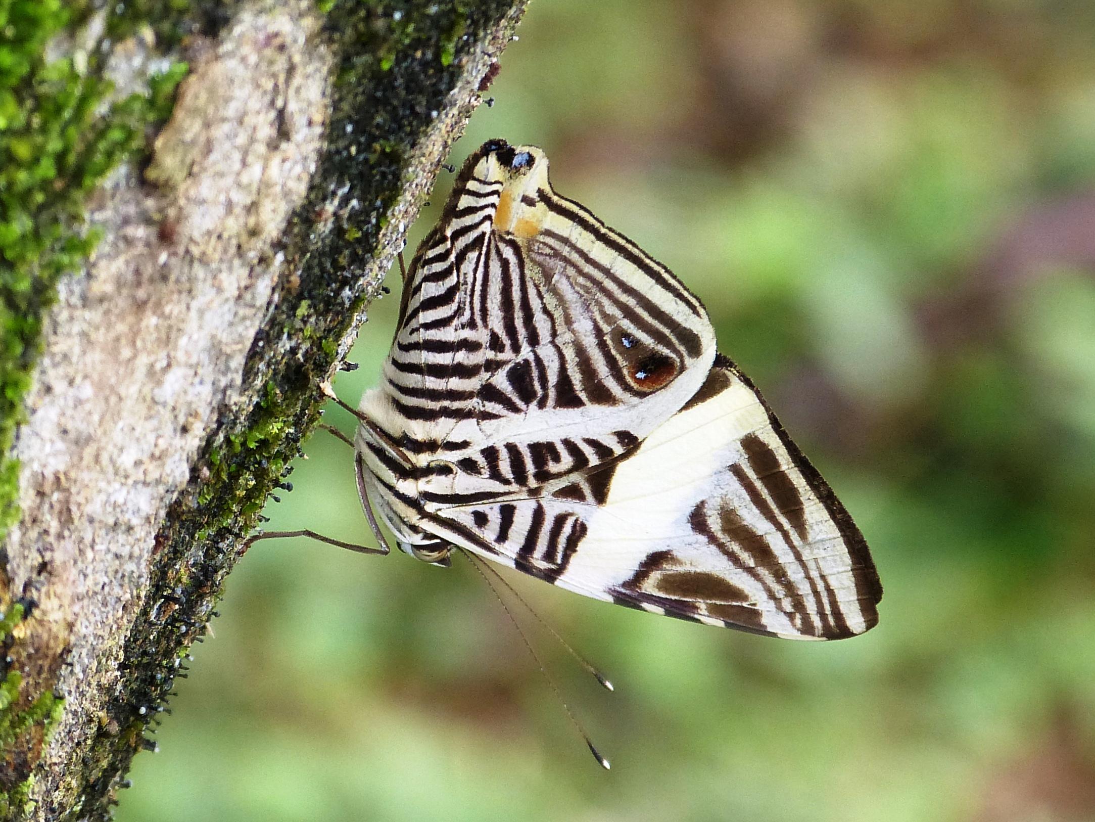 Dirce Beauty - Colobura dirce