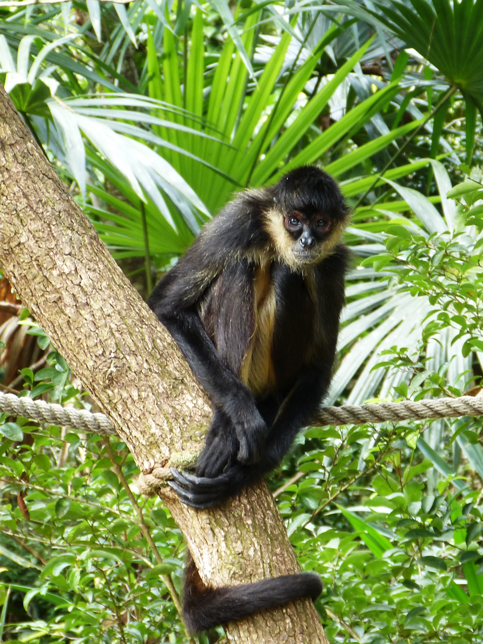 Spider Monkey at zoo