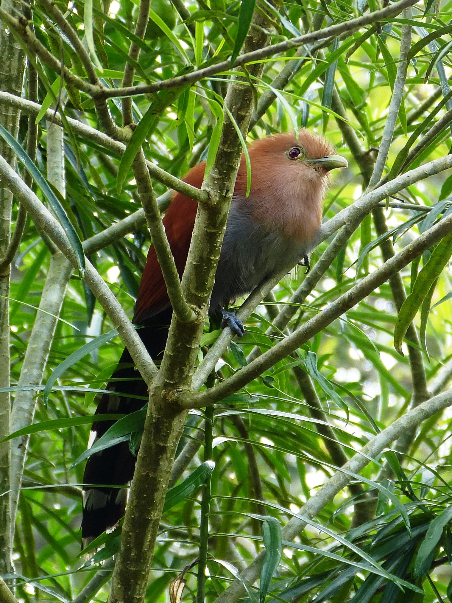 Squirrel Cuckoo Yellow-winged Tanager ...