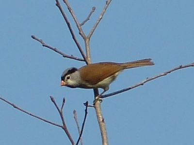 Gray-headed Parrotbill