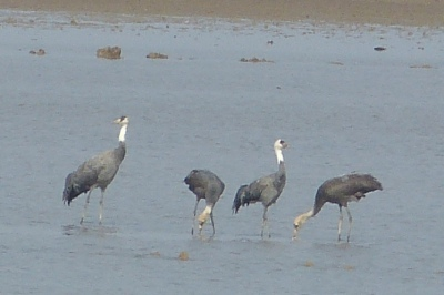 Hooded Crane family 2