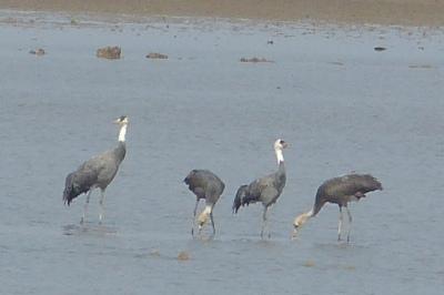 Hooded Crane family 2