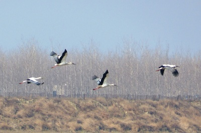 Oriental Storks in flight