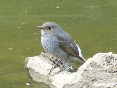 Plumbeous Redstart female