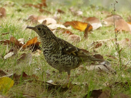 Scaly Thrush.  A life bird that I found by myself.