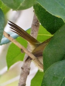 Common Tailorbird tail