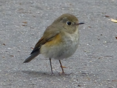 Red-flanked Bluetail at Zhongshan Park in Shenzhen