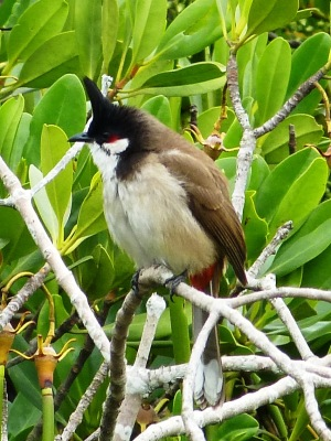 Red-whiskered Bulbul - a common bird, but one of my favorites.