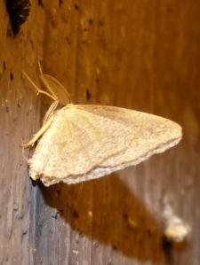 Shawnee moth 1P