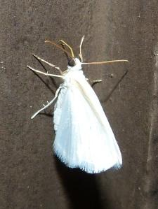 Shawnee moth 3