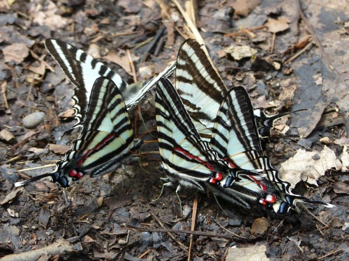 Zebra Swallowtails