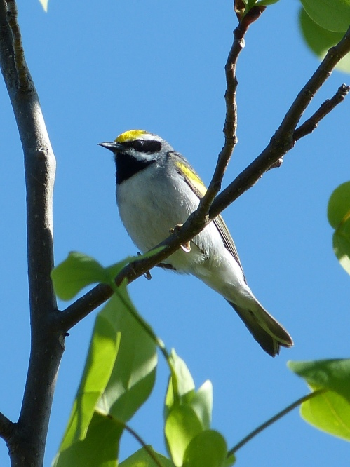 """Andy,"" a male second-year Golden-winged Warbler"
