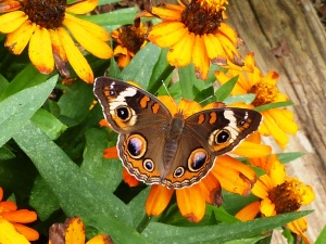 Common Buckeye in the Schepker/Schneider yard