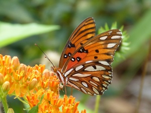 Gulf Fritillary at Harris Neck NWR