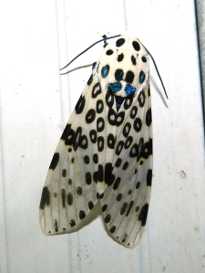 Great Leopard Moth, Hypercompe scribonia