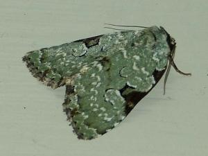 Green Leuconycta Moth, Leuconycta diphteroides