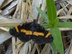Rare Spring Moth, Heliomata infulata