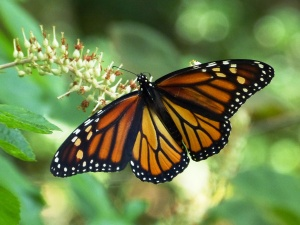 Monarch (female) on Summersweet, Clethra alnifolia
