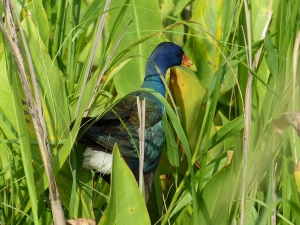 Purple Gallinule at Savannah NWR