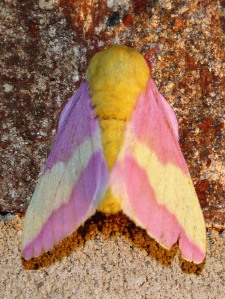 Rosy Maple Moth, Dryocampa rubicunda, a favorite from this summer.