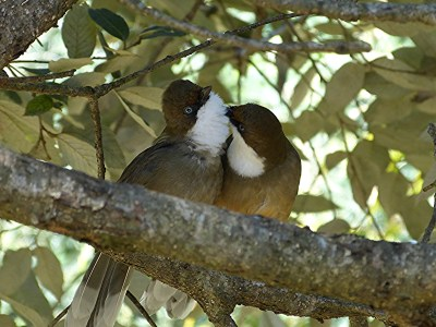 White-throated Laughingthrushes