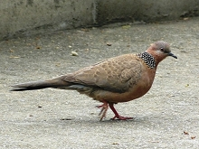 Spotted Dove (China)